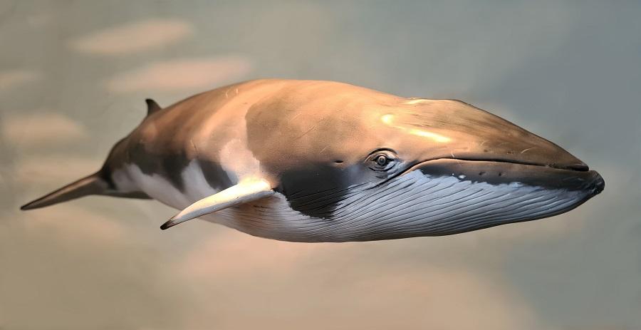beeldhouwwerk dwergvinvis te gebruiken voor publieke ruimtes, dierentuinen, decor, films, reclame en props